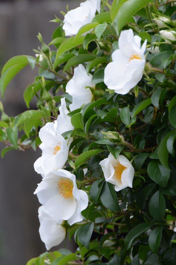 Cherokee Rose lizenzfreies stockfoto