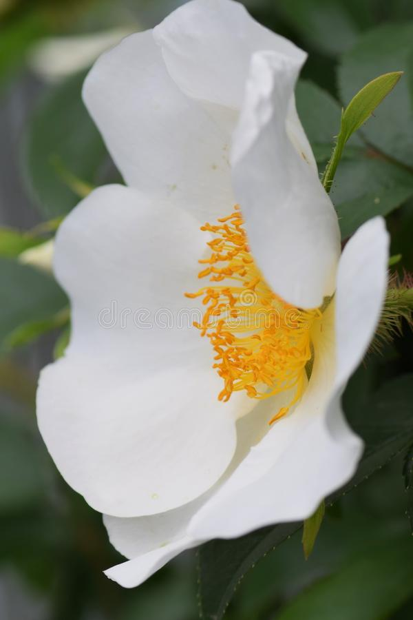 Cherokee Rose lizenzfreie stockfotos