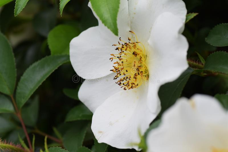 Cherokee rose. Early summer white and beautiful flowers `Cherokee rose stock photos