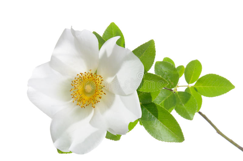 Cherokee Rose Flower stock photo