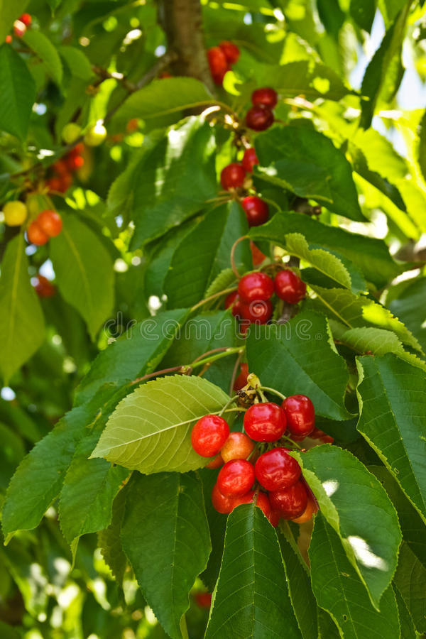 Download Cherries stock image. Image of leaves, eating, cooking - 25811869