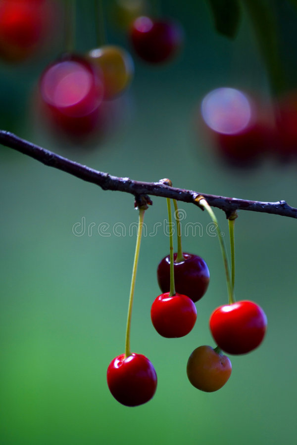 Cherries. Cherry fruits - colorful image of cherries stock photos