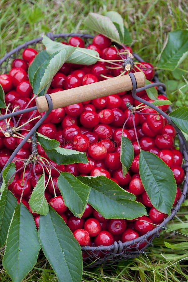 Cherries In Basket Stock Image