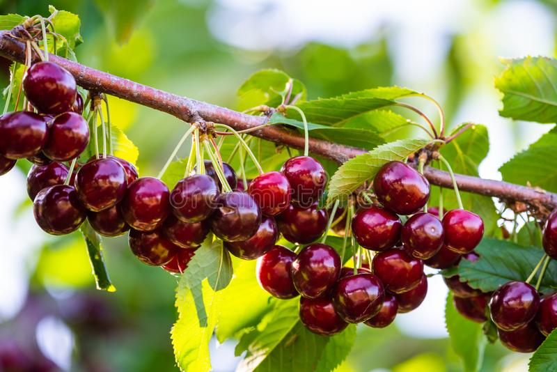 Cherries on a branch of a fruit tree in the sunny garden. Bunch of Fresh cherry on branch in summer season stock photo