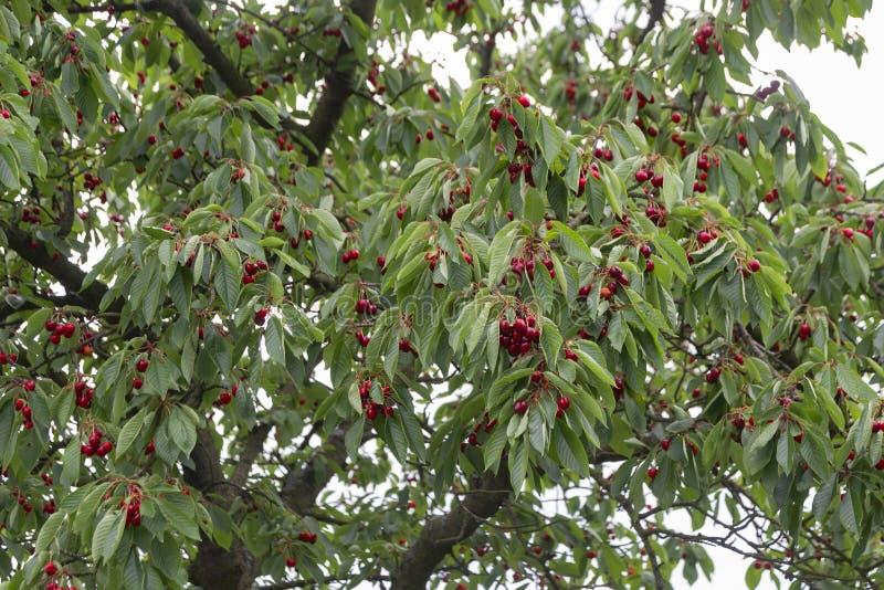 Cherries on cherry tree garden, fruit ripe royalty free stock photo