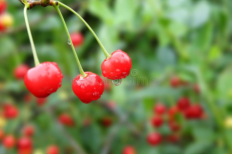 Download Cherries With Droplets On Green Background Stock Photo - Image: 33224820