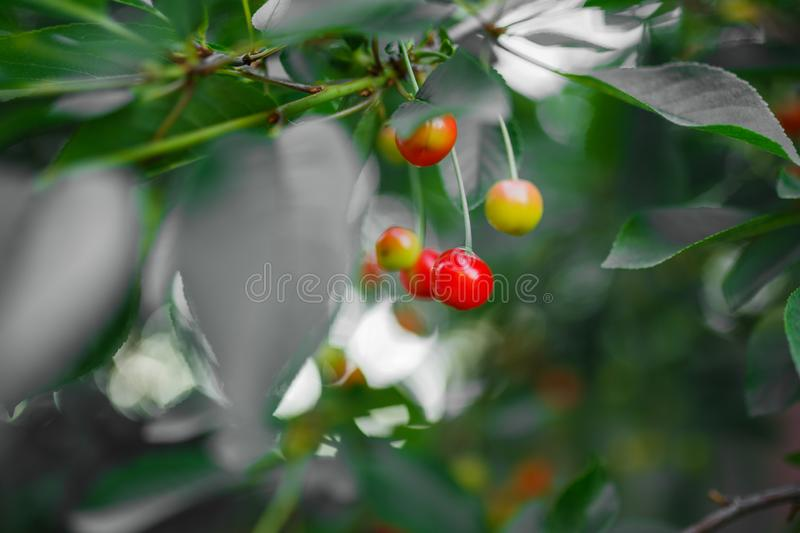 cherries hanging from a cherry tree branch. Selective focus on the cherries to allow for copy space if needed. Blur background stock photo