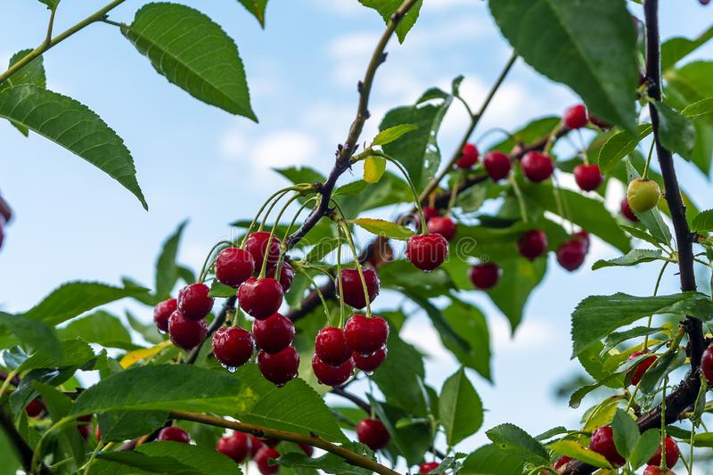 Cherries hanging on a cherry tree branch. Cherry tree in the sunny garden stock images