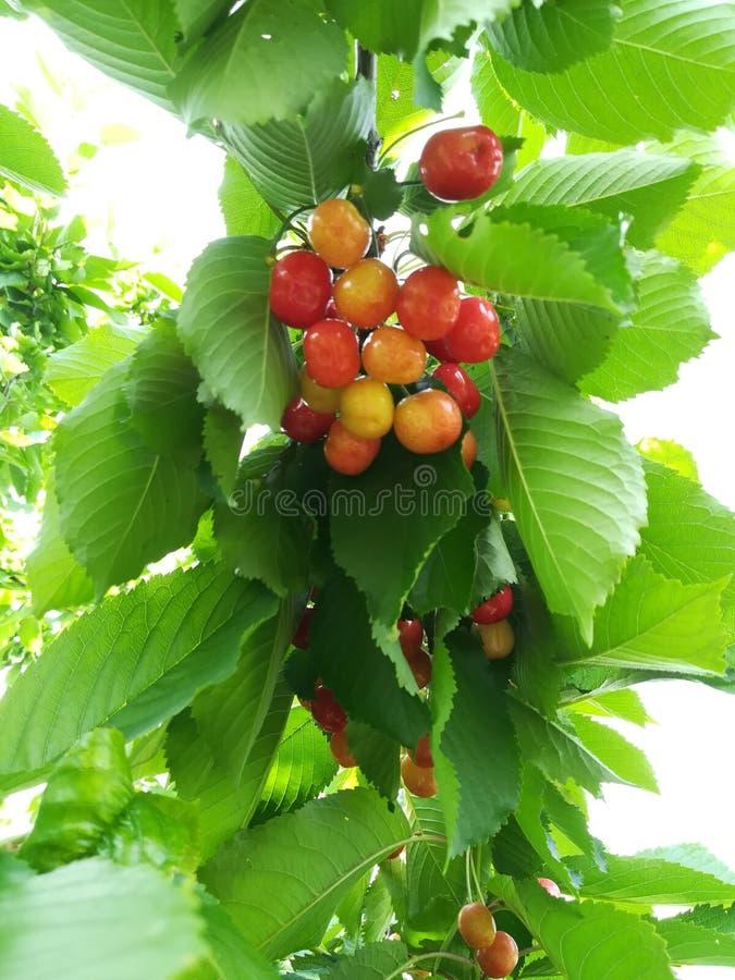 Cherries of May stock photo