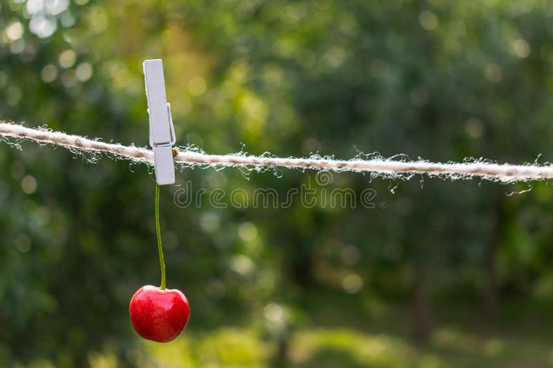 Cherries on the string in the garden on a sunny day royalty free stock photo