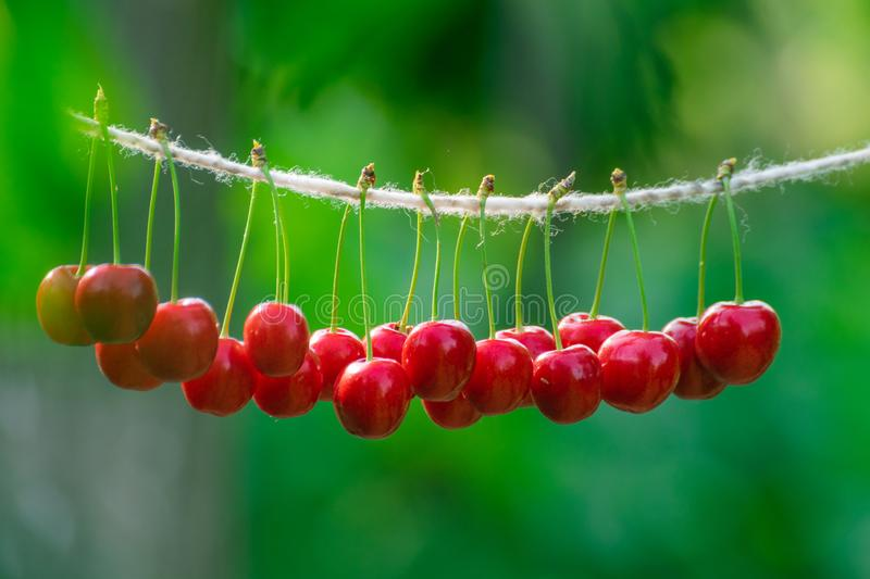 Cherries on the string in the garden on a sunny day royalty free stock photos