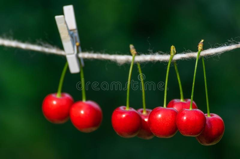 Cherries on the string in the garden on a sunny day royalty free stock image