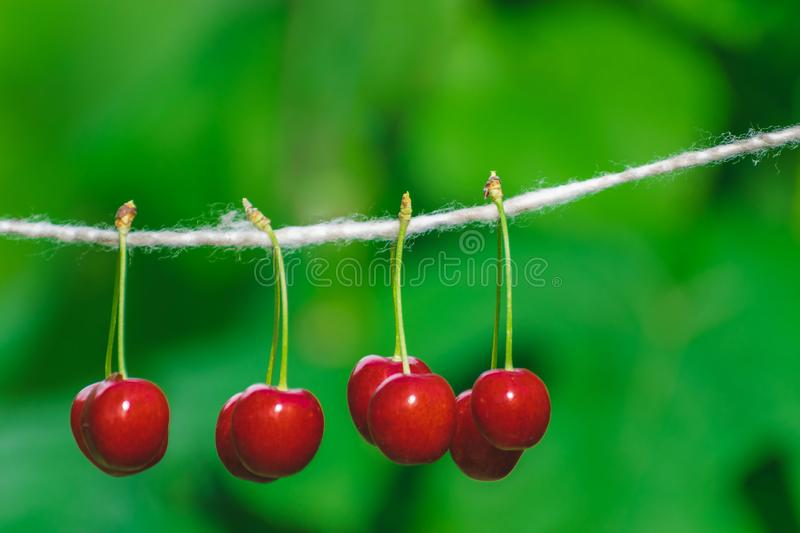 Cherries on the string in the garden on a sunny day. Berries, brights, bunches, strings, sunnies, agricultures, backgrounds, beautifuls, branches, closeups royalty free stock photography