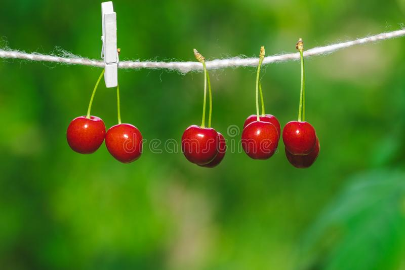 Cherries on the string in the garden on a sunny day. Berries, brights, bunches, strings, sunnies, agricultures, backgrounds, beautifuls, branches, closeups royalty free stock images