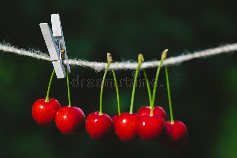 Cherries on the string in the garden on a sunny day. Berries, brights, bunches, strings, sunnies, agricultures, backgrounds, beautifuls, branches, closeups stock images