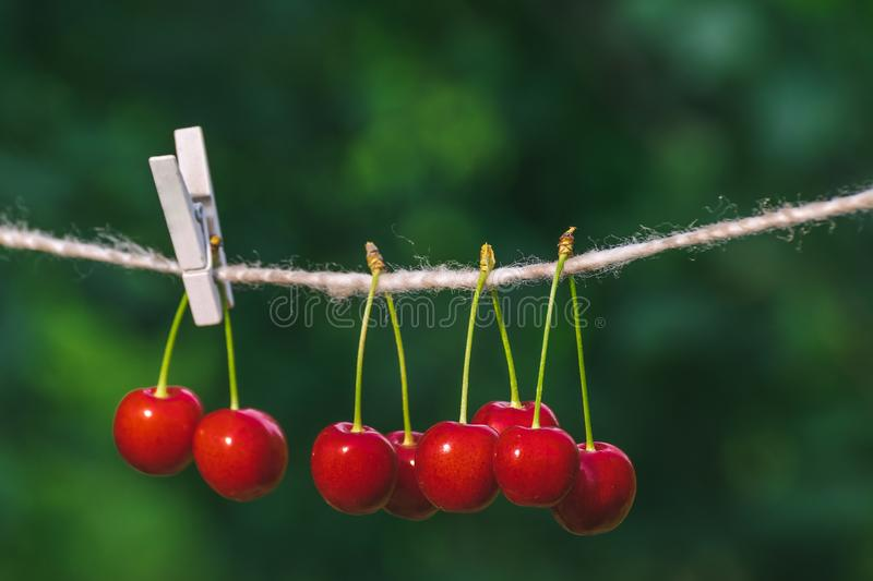 Cherries on the string in the garden on a sunny day royalty free stock photography
