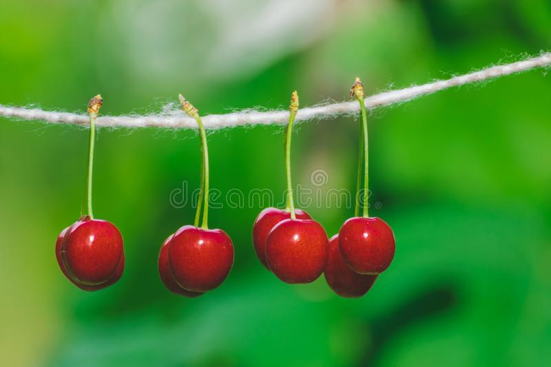 Cherries on the string in the garden on a sunny day stock photography