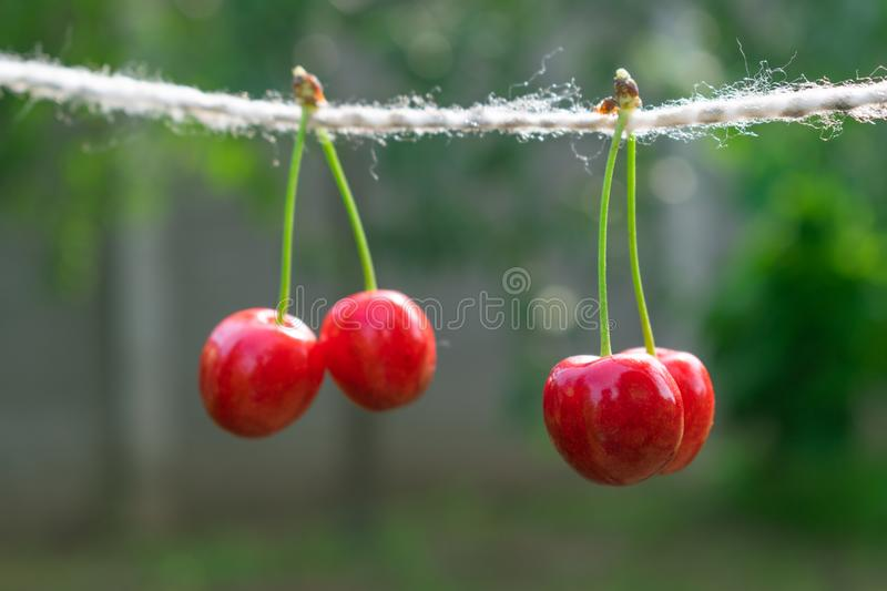 Cherries on the string in the garden on a sunny day stock image