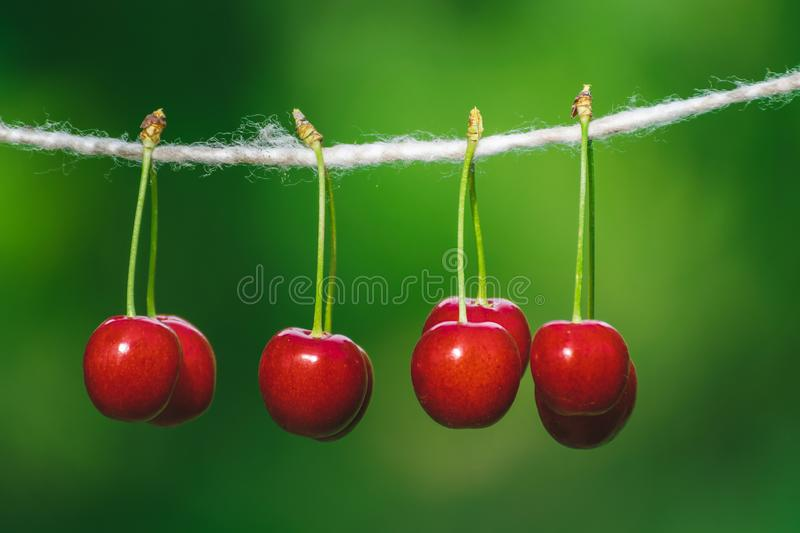 Cherries on the string in the garden on a sunny day. Berries, brights, bunches, strings, sunnies, agricultures, backgrounds, beautifuls, branches, closeups royalty free stock photo