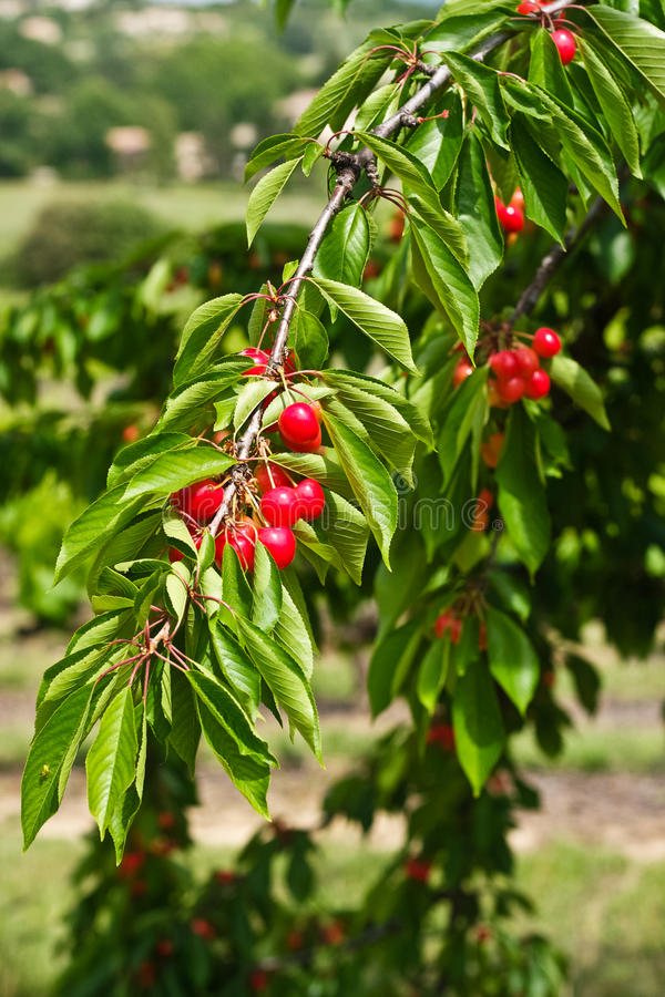 Download Cherries on Tree stock photo. Image of rural, cook, fresh - 25823372