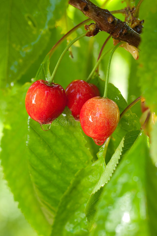 Cherries on a tree with water-drops royalty free stock images