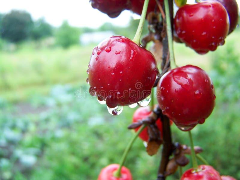 Cherries with water drops. Cherry tree of cherries. stock photos