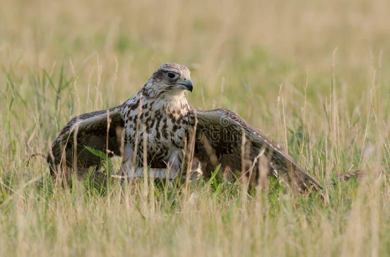 Cherrug de Falco images stock