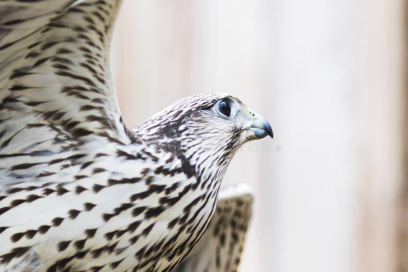 Cherrug de Falco del halcón de Saker, Baviera, Alemania, Europa fotografía de archivo