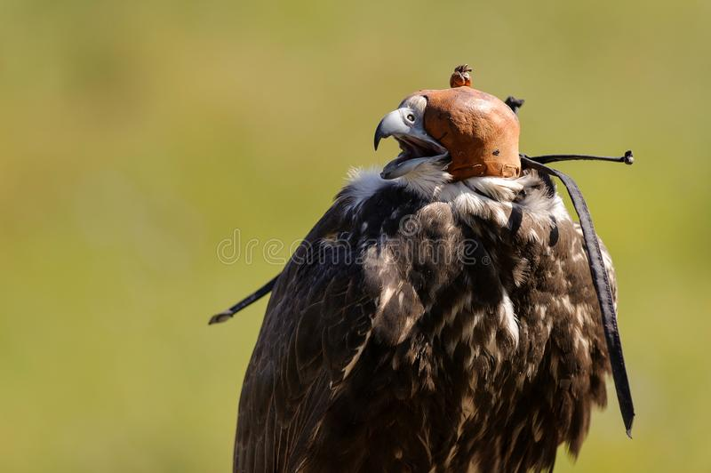 Cherrug de Falco de faucon de Saker à capuchon sur un fond vert image stock