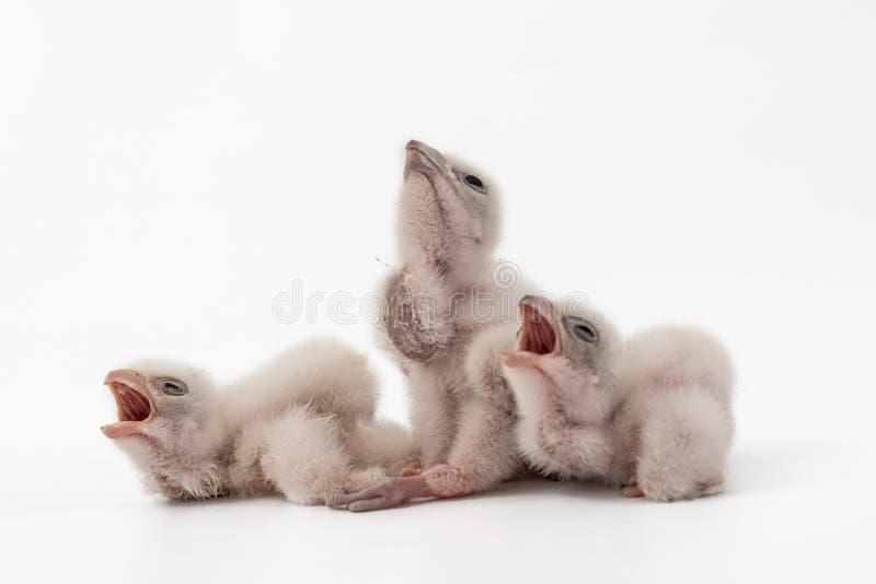 Cherrug de tres Chick Saker Falcon Falco en el fondo blanco 2 días de viejo imágenes de archivo libres de regalías