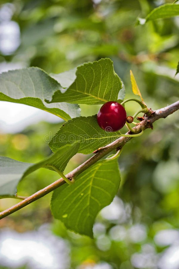 Download Cherry stock image. Image of food, fruit, berry, nature - 28572649