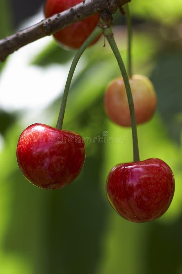 Free Cherry Stock Photography - 781662