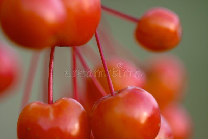 cherry obrazy royalty free