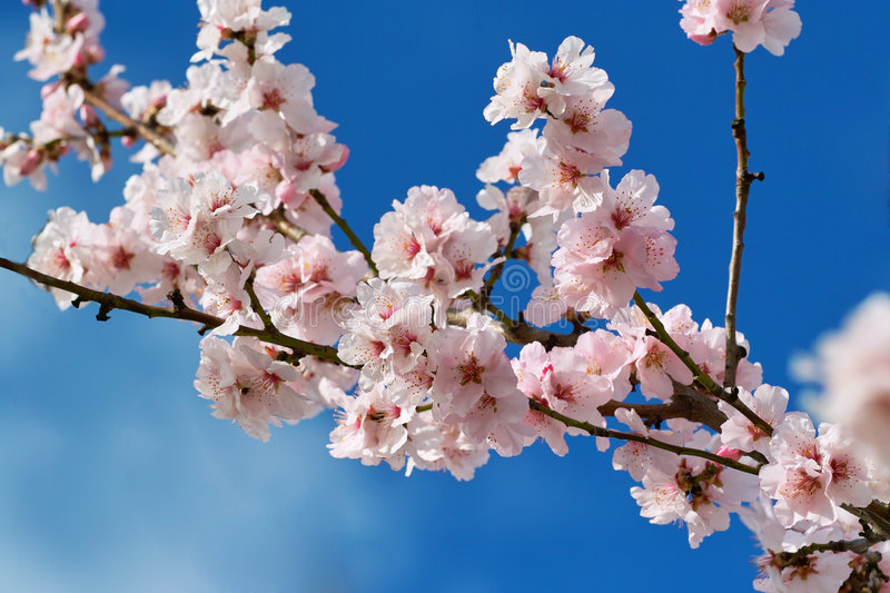 Download Cherry almond blossom stock image. Image of flowers, blossom - 7643049