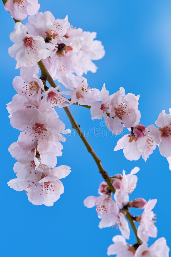 Download Cherry almond blossom stock image. Image of flowers, blossom - 7643055