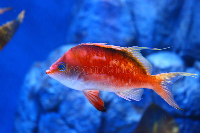 Cherry Anthias Fish royalty-vrije stock foto