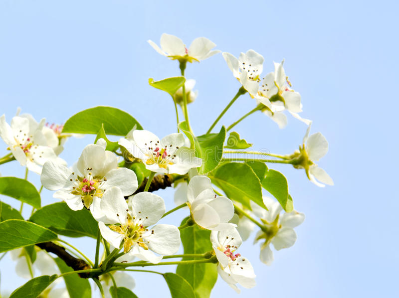 Cherry apple blossoms over blue sky background royalty free stock photo
