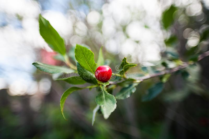 Cherry. Beautiful red cherry growing on a tree royalty free stock image