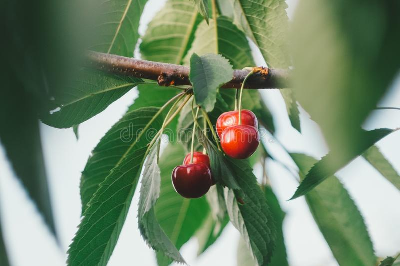 Cherry berries with stem selective focus on tree branch with leaves stock photo