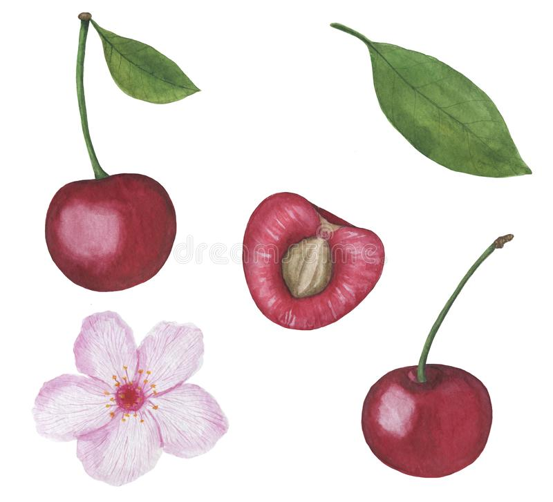 Cherry berry Watercolor illustrations set of summer botanical decorations greeting card design. Illustration Cherry berry Watercolor illustrations set of summer royalty free illustration