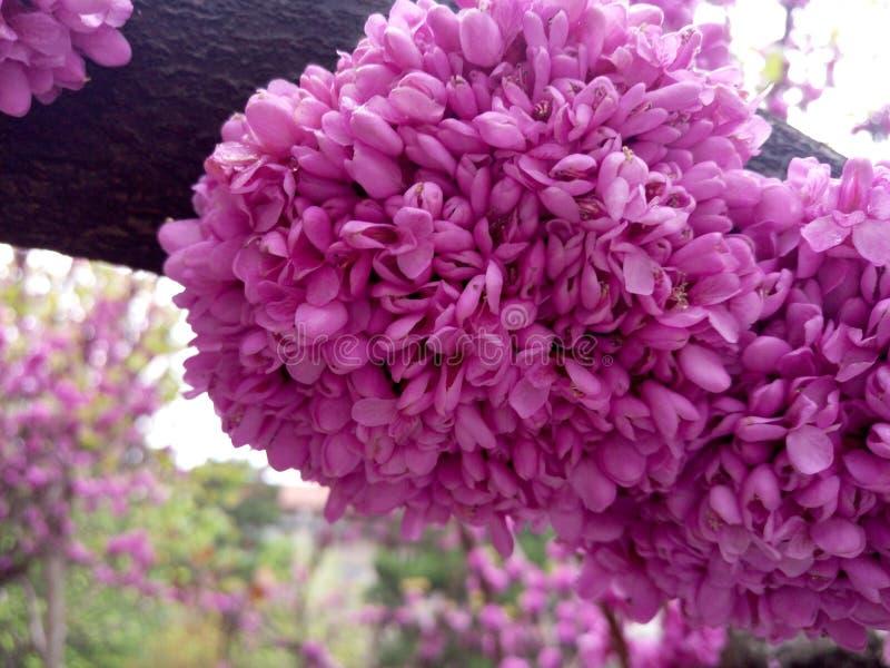 Cherry bloesem Roze Prachtig in vol bloei Aromatische geur Blooming Clusters stock afbeeldingen