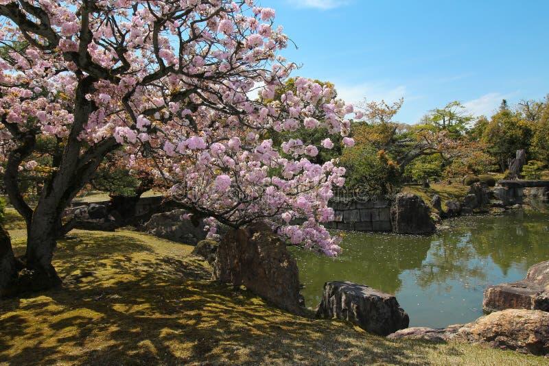 Cherry-bloesems in een park in Japan stock afbeeldingen