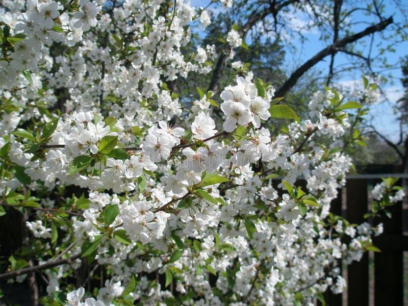 Cherry Bloom photographie stock libre de droits