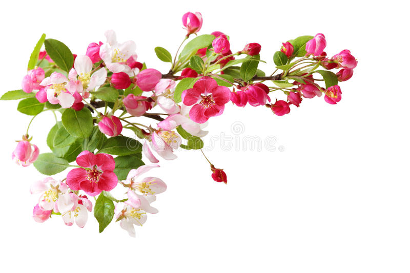 Cherry Blooming royalty free stock image