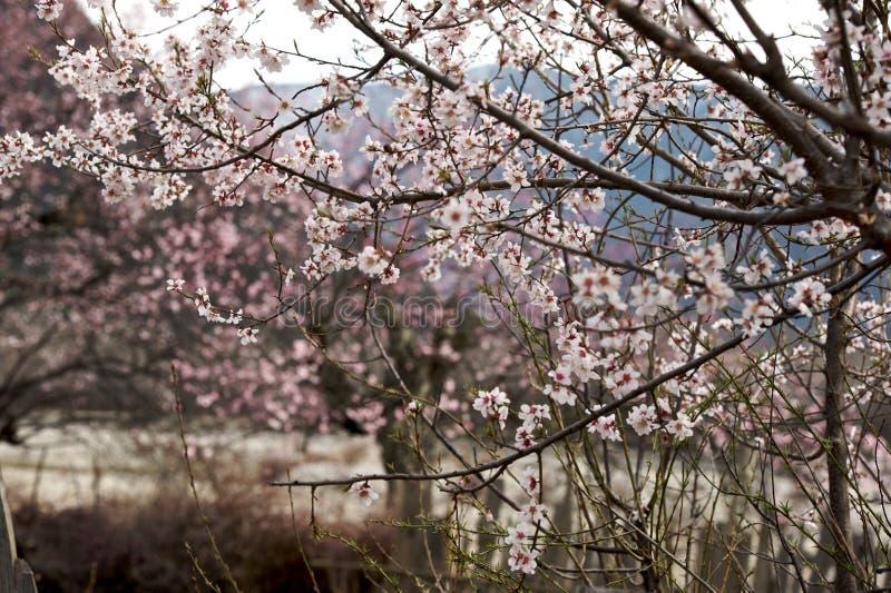 Cherry Blooming, Nyingchi, Tibet foto de stock