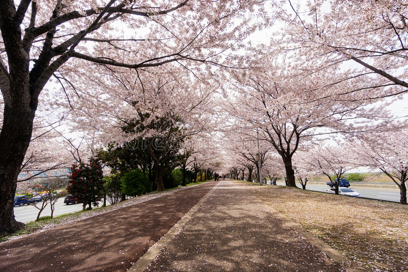 Cherry Blooming in South Korea during spring season stock photos
