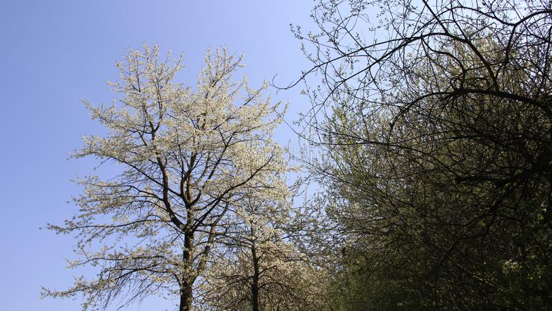 Cherry Blooming In Spring Time mit warmem Sonnenlicht stockbilder