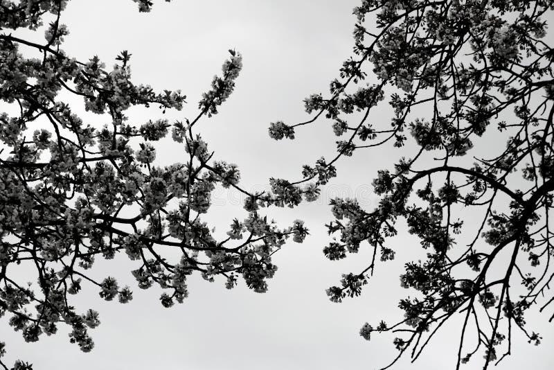Cherry Blooms photo stock