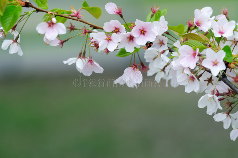Cherry blosom royalty free stock image
