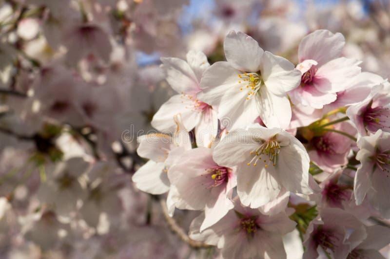 Cherry Blosom en Capital del Estado de Utah fotografía de archivo libre de regalías
